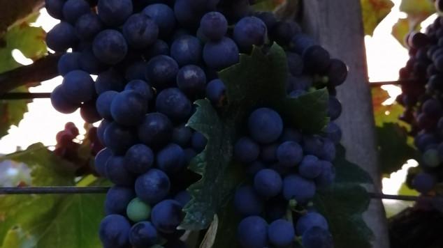 Mézédes szőlő